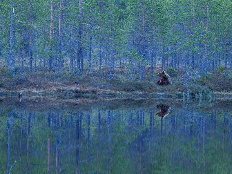 Bear-finland-forest_62972_990x742 monet-pour-de-vrai